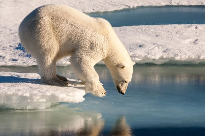 Polar bear on the sea ice of the Arctic Ocean