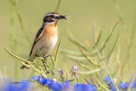 Since 1980, the population of field birds in the EU has more than halved. The whinchat (Saxicola rubetra) is one of the most endangered species in our cultural landscape.