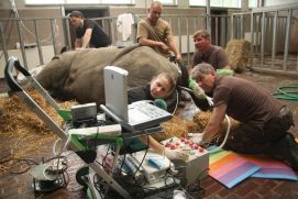 Prof. Hildebrandt (Leibniz-IZW) and his team in action with a Southern White Rhino in a zoo in Chorzow, Poland.